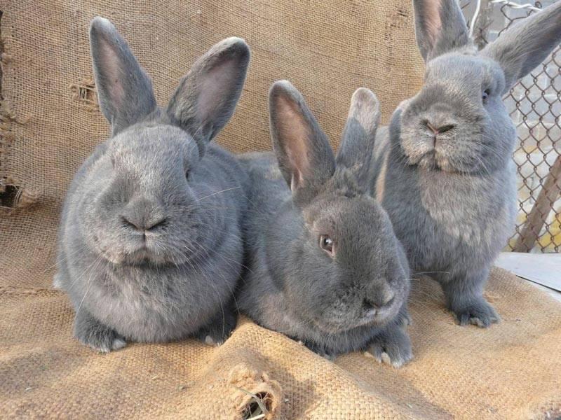 Методика разведения кроликов в домашних условиях: обустройство клетки, рацион питания, размножение и уход