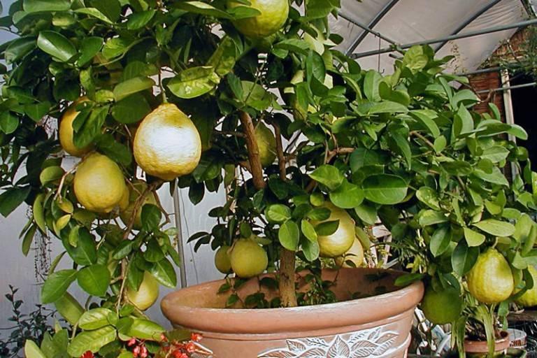 Почему не цветет лимон в домашних условиях: причины