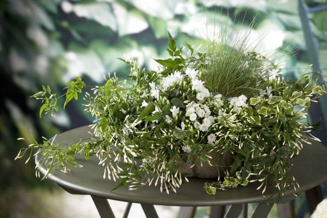 Жасмин самбак (46 фото): уход в домашних условиях, особенности индийского комнатного цветка, обзор сорта «гранд дюк» и других