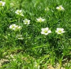 ᐉ мшанка шиловидная: выращивание из семян в открытом грунте, фото, посадка и уход - roza-zanoza.ru