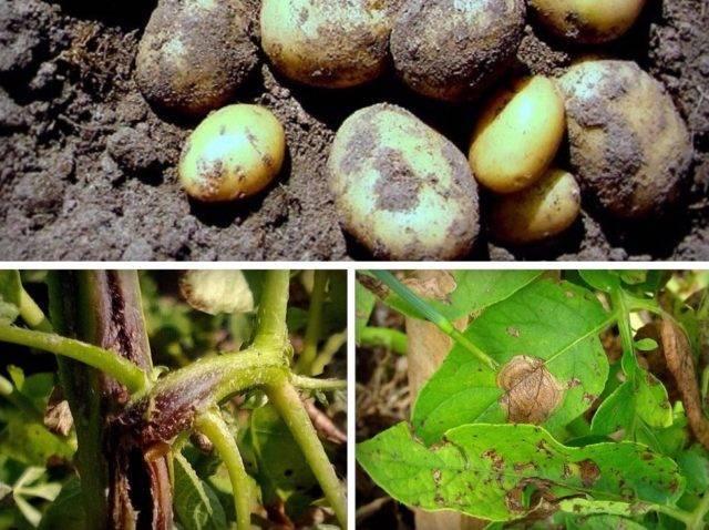 Почему желтеет картофельная ботва и как с этим бороться?
