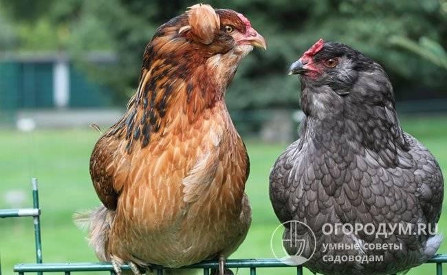 Араукана: полное описание породы кур с фото и советами