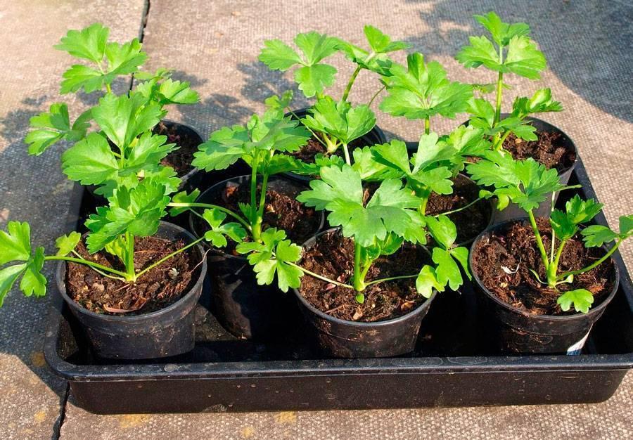 Как вырастить сельдерей: посадка и уход в открытом грунте, сорта (черешковый, листовой, корневой), пикировка, выращивание из семян на рассаду, когда сеять