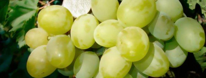 """Виноград """"подарок запорожью"""": описание сорта, фото, болезни и уход selo.guru — интернет портал о сельском хозяйстве"""