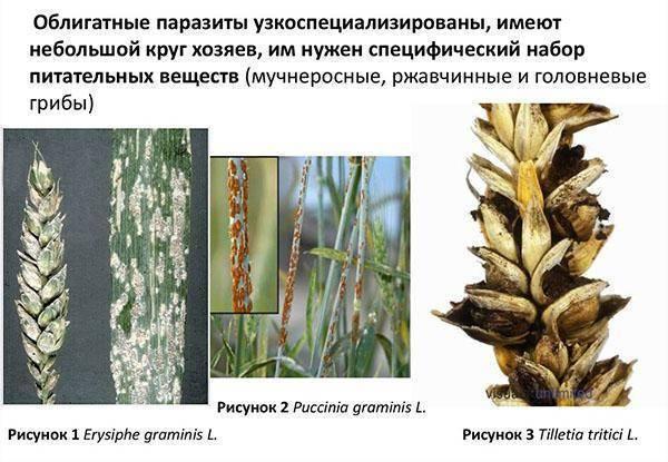 Головня - это грибные болезни злаков. как происходит заражение зерновых культур головневыми грибами