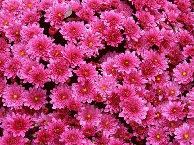 Посадка хризантемы весной в открытый грунт