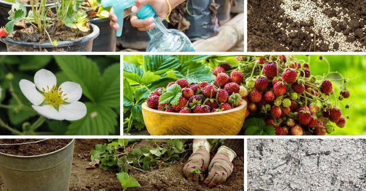 Правильная подкормка клубники весной: выбор удобрения для ягоды, технология обработки