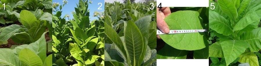 Самостоятельное выращивание табака | cельхозпортал