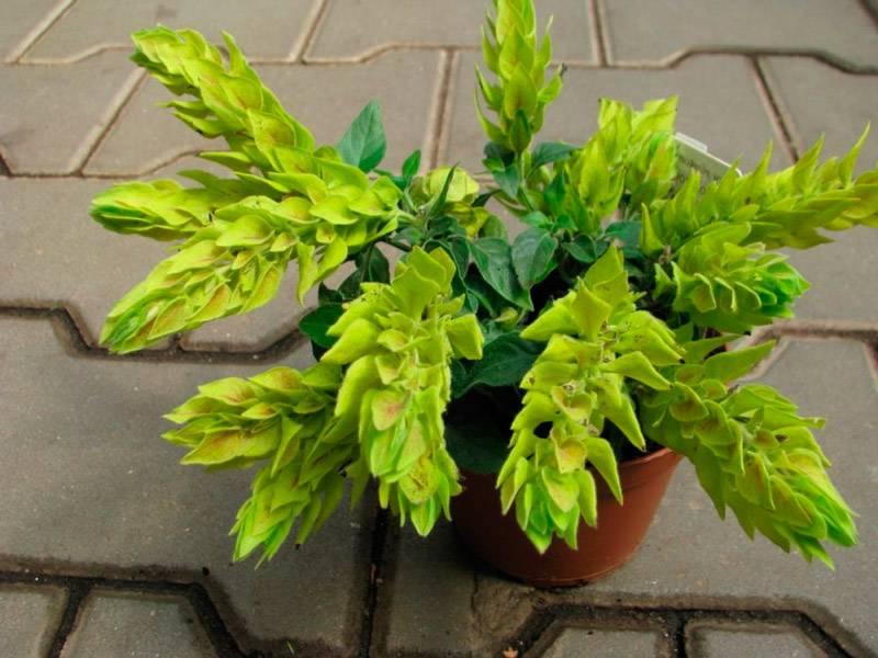 Цветы белопероне в домашних условиях дарят уют