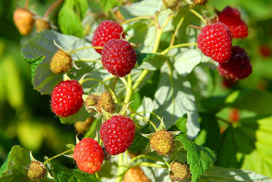 Подготовка малины к зиме – осенний уход, обрезка, подкормка, видео – 4 сезона огородника