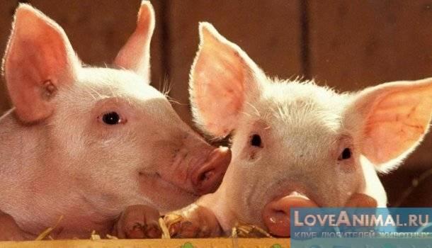 Охота у свиней. как отбить? selo.guru — интернет портал о сельском хозяйстве