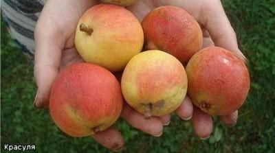 Описание и особенности выращивания груш сорта Радужная