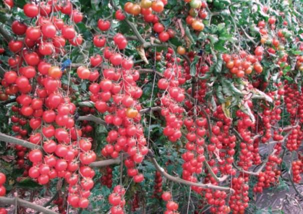 Сорт помидор «свит черри» f1