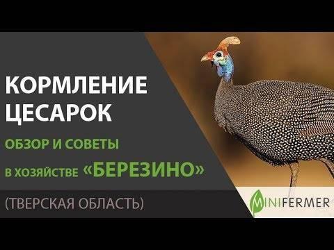 Особенности размножения цесарок. основные принципы успешного выращивания