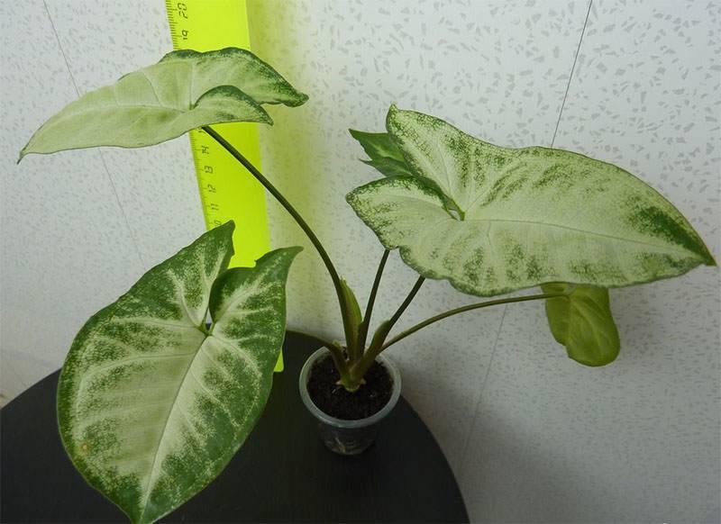 Сингониум - фото, уход в домашних условиях, размножение комнатного растения, пересадка, описание