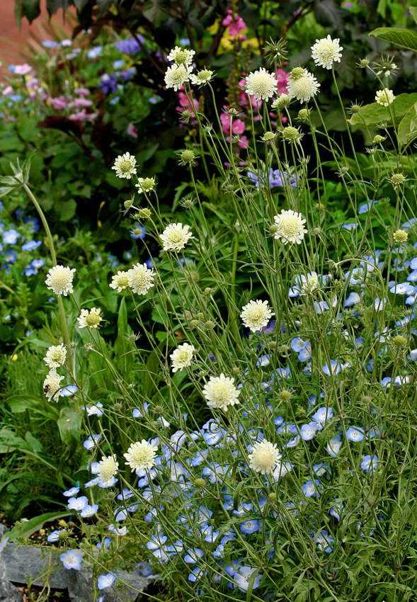 Скабиоза многолетняя: описание 20 лучших сортов, выращивание из семян, посадка и уход