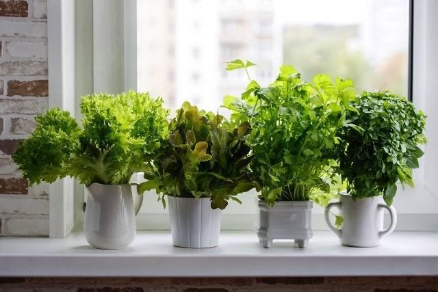 Зелень на подоконнике зимой: как и что можно вырастить, посадка и уход