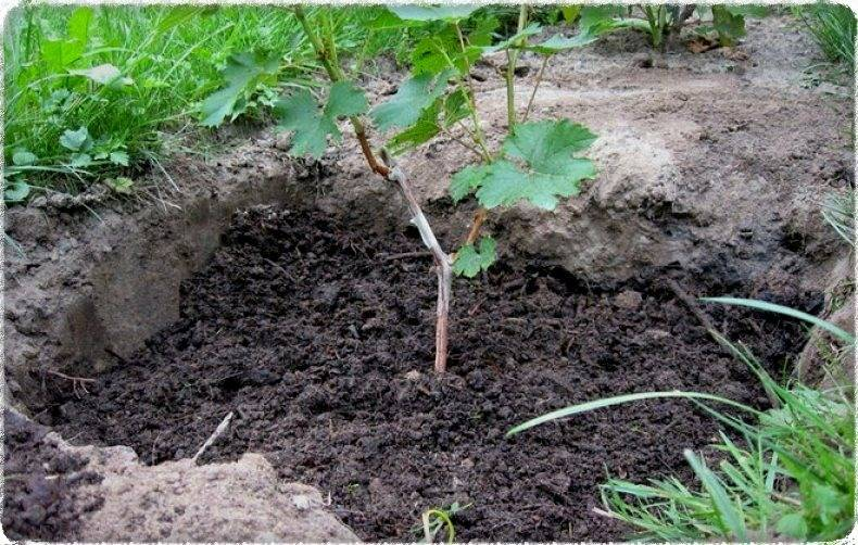 Как пересадить виноград на другое место, когда и как лучше это делать в том числе в подмосковье