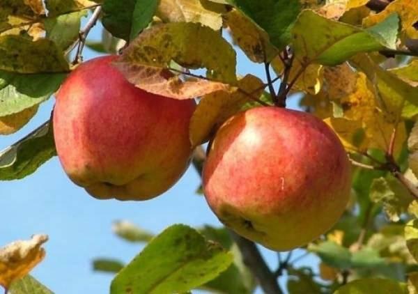 Монилиоз яблони: как лечить деревья и чем обработать их от плодовой гнили для профилактики