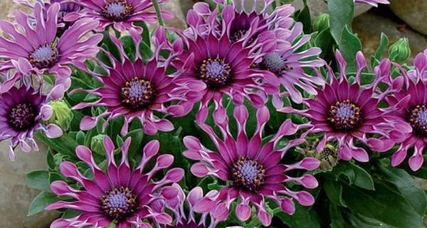 Цветы остеоспермум: как выглядят на фото, выращивание из семян, посадка и уход в открытом грунте
