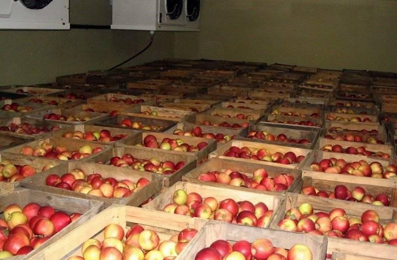 Как сохранить яблоки в домашних условиях на зиму