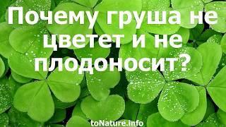 Почему не плодоносит груша и не цветет: что делать и причины, если молодая и старая