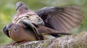 Как размножаются птицы: спаривание голубей