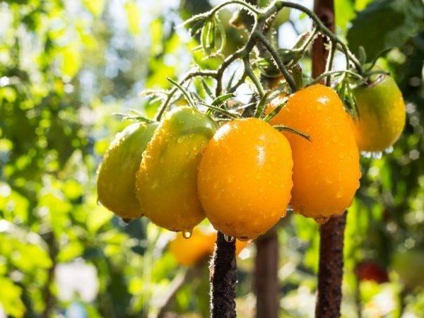 Сорт томата олеся
