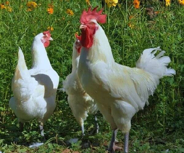 Бресс-галльская порода кур: описание, фото