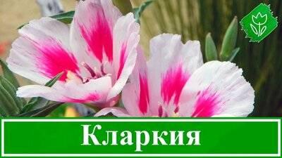 Кларкия изящная – выращивание из семян