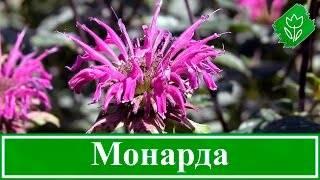 Монарда: посадка и уход в открытом грунте, разновидности и размножение