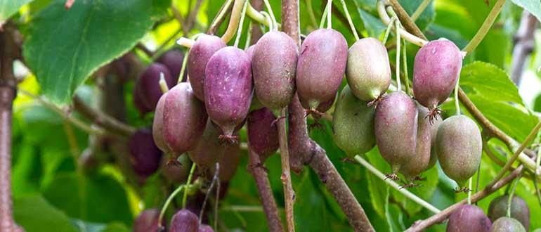 Актинидия: описание сорта деликатесный и других сортов, правила выращивания и уход за растением