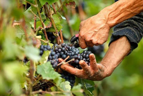 Уход за виноградом в сентябре сбор урожая, обрезка