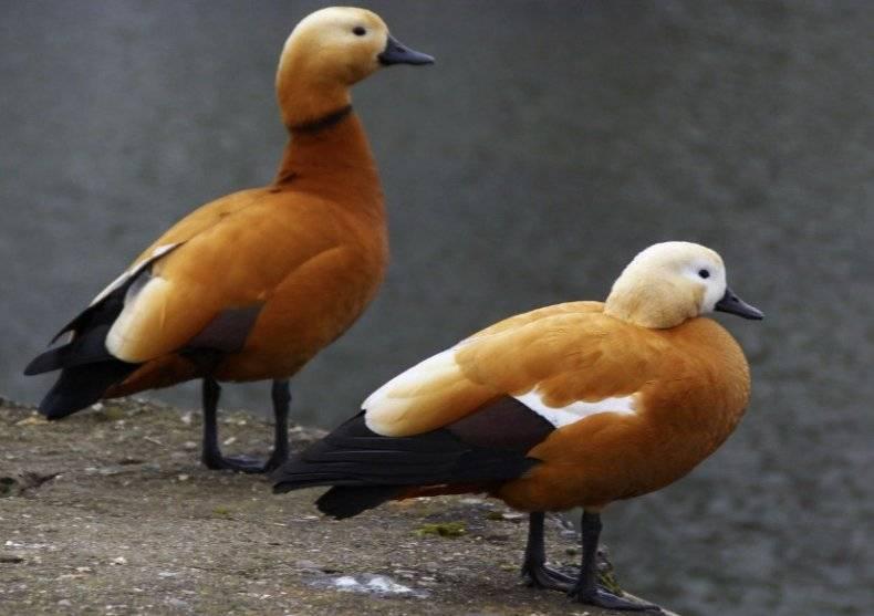 Красная утка (15 фото): где водится огарь? происхождение красивой птицы, описание птенцов