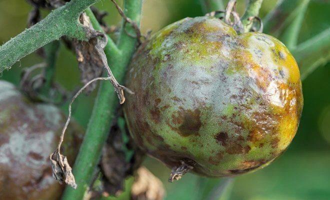 Фитофтора на помидорах в теплице: как бороться? - огород, сад, балкон - медиаплатформа миртесен