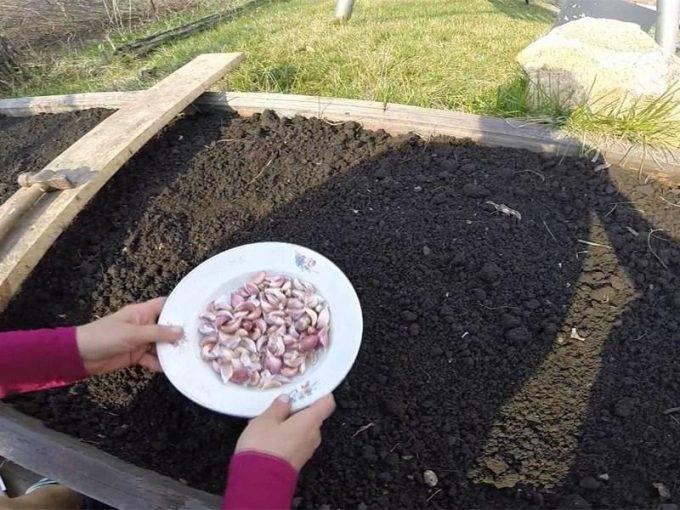 Руководство по выращиванию ярового и озимого чеснока в открытом грунте: посадка, уход, подкормка
