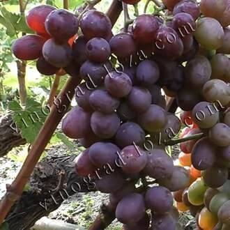 Виноград виктория: неплохой вариант для начинающих