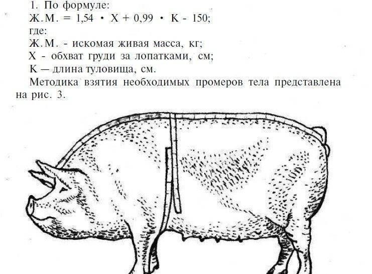 Сколько весит свинья: средняя масса в разном возрасте, измерение веса