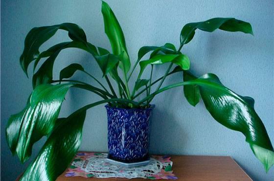 Почему у эухариса вялые листья? | выращивание, уход, размножение растений