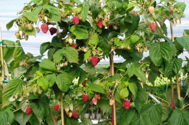 Правила посадки и выращивания штамбовой малины