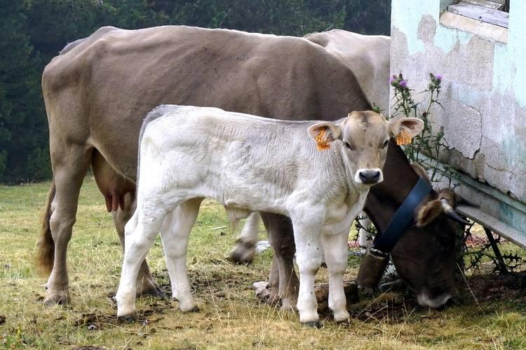 ᐉ кормление телят до 3 месяцев: рацион питания - zooon.ru
