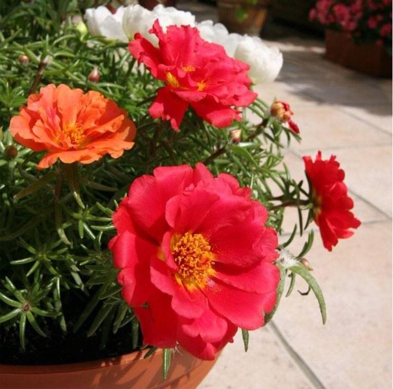 Уход за портулаком, цветком декоративным, выращивание, посадка в открытый грунт