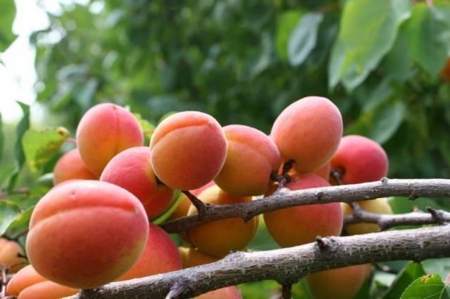 Об абрикосе саратовский рубин: описание и характеристики сорта, посадка, уход