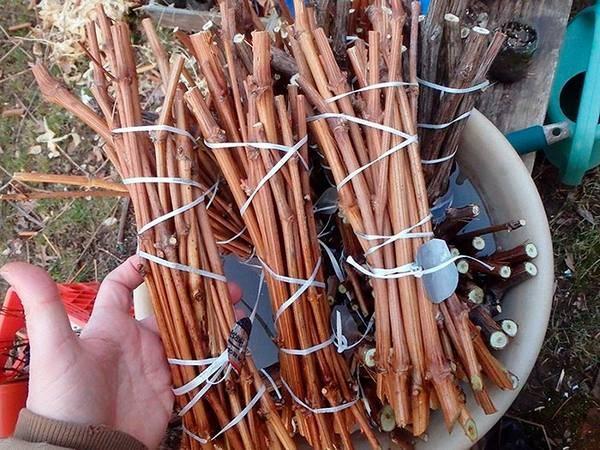 Заготовка и хранение черенков винограда зимой