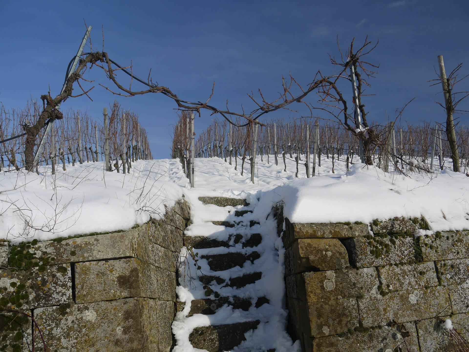 Когда открывать виноград весной 2020 года, как защитить от заморозков весной