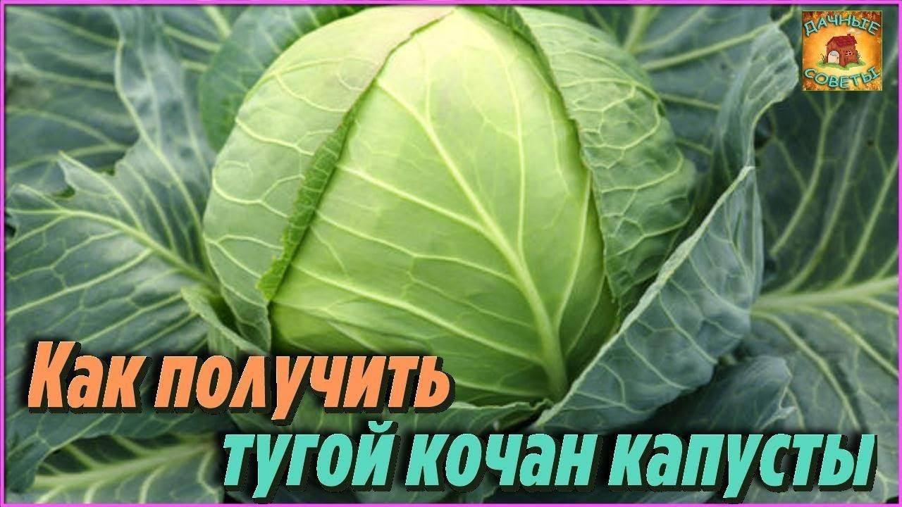 Семена капуста белокочанная харрикейн f1, 10шт, гавриш, bejo