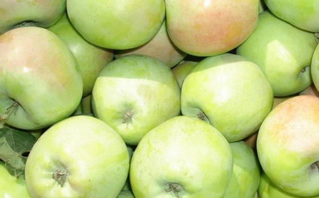 Яблоня северный синап, рекордсмен по хранению