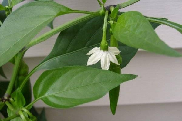 Чем подкормить перец для роста и хорошего урожая после посадки в открытом грунте