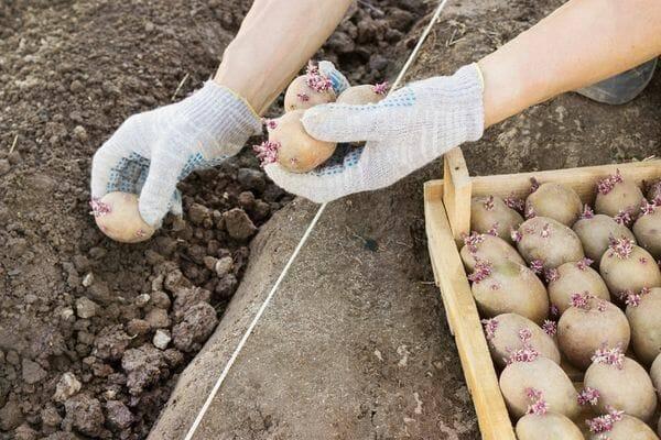 Посадка картофеля: основные правила и оригинальные идеи