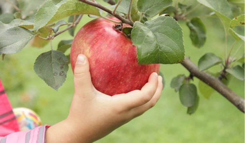 Описание сорта яблони мечта: фото яблок, важные характеристики, урожайность с дерева